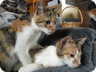 Calico Cat for adoption in Richland, Michigan - Laverne & Shirley