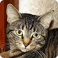 Domestic Shorthair Cat for adoption in Ventura, California - Missy