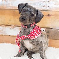 Adopt A Pet :: Grey *ADOPTION PENDING* - Las Vegas, NV