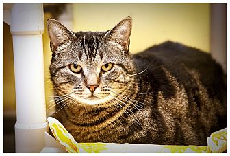 Domestic Shorthair Cat for adoption in Middletown, New York - Willy