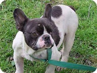 French Bulldog Dog for adoption in Columbus, Ohio - Wally