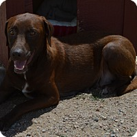 Labrador Retriever Mix Dog for adoption in Peyton, Colorado - Dani