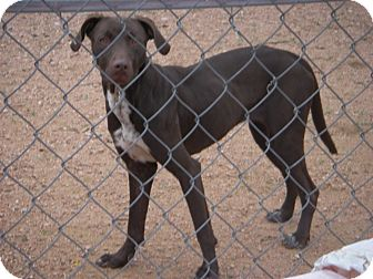 Blue Lacy/Texas Lacy/Vizsla Mix Dog for adoption in Buchanan Dam, Texas - Sheila