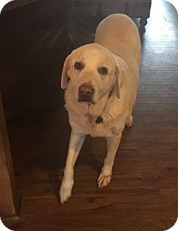 Labrador Retriever Mix Dog for adoption in Lewisville, Indiana - Gloria