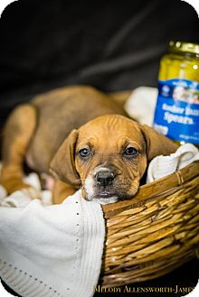 Boxer/Bluetick Coonhound Mix Puppy for adoption in Glastonbury, Connecticut - Dill