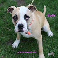 Adopt A Pet :: Bodhi - Needs Foster - Bloomington, MN