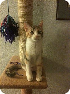 Domestic Shorthair Kitten for adoption in Edmond, Oklahoma - Minerva