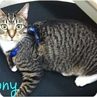 Adopt A Pet :: Tony - Orlando, FL