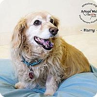Adopt A Pet :: Harry - Phoenix, AZ