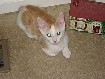 Domestic Shorthair Kitten for adoption in Ortonville, Michigan - Buster