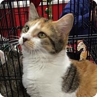 Adopt A Pet :: Purr Simmons - Harrisburg, NC