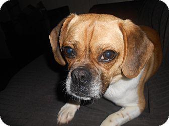 Pug/Beagle Mix Dog for adoption in Paris, Illinois - Madge