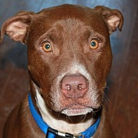 American Pit Bull Terrier Dog for adoption in Fredericksburg, Virginia - Duke- Courtesy Listing