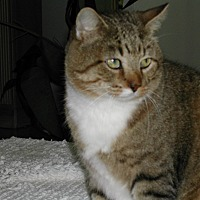 Domestic Shorthair Cat for adoption in Naples, Florida - Ghandi