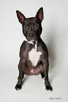 American Staffordshire Terrier Mix Dog for adoption in Kenner, Louisiana - Roxie