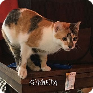 Calico Cat for adoption in Great Neck, New York - KENNEDY