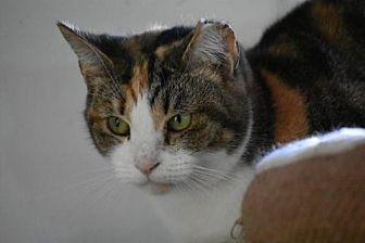 Calico Cat for adoption in Devon, Pennsylvania - Callie