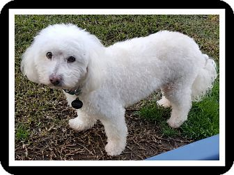 Poodle (Miniature) Dog for adoption in Winchester, California - CHULO