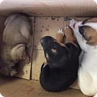 Adopt A Pet :: Laila Ali - Del Rio, TX