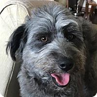 Adopt A Pet :: Gigi - Washington, DC