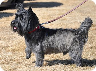 Cairn Terrier Dog for adoption in Great Falls, Montana - Beamer