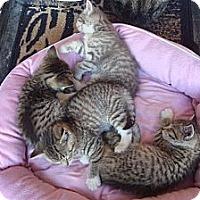 Adopt A Pet :: Kittens - Brooklyn, NY