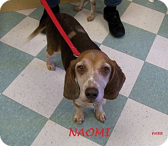 Beagle Dog for adoption in Ventnor City, New Jersey - NAOMI