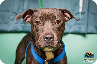 American Pit Bull Terrier Mix Dog for adoption in Evansville, Indiana - Sasha