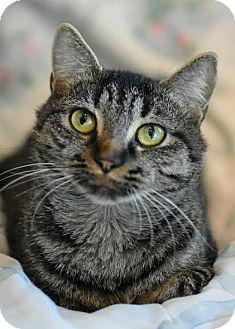Domestic Shorthair Cat for adoption in Aiken, South Carolina - Nona Lee