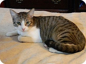 Domestic Shorthair Kitten for adoption in The Colony, Texas - Joley Ravioli