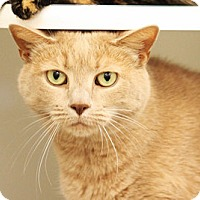 Adopt A Pet :: Tango (and Torti) - Fairfax, VA