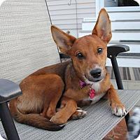 Adopt A Pet :: Chloe - Shrewsbury, NJ