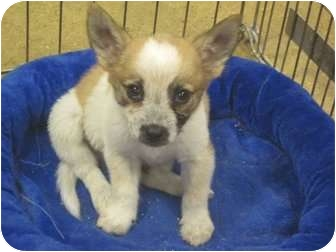 Corgi/Chihuahua Mix Puppy for adoption in The Colony, Texas - Booboo