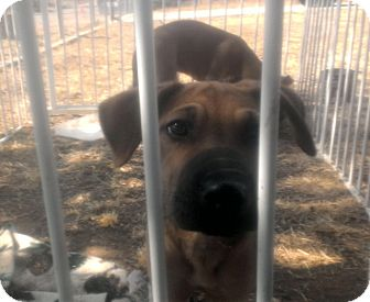 Shar Pei/Labrador Retriever Mix Puppy for adoption in Mira Loma, California - Taylor