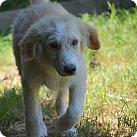 Adopt A Pet :: Cullin - New Boston, NH
