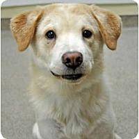 Adopt A Pet :: Bud - Port Washington, NY