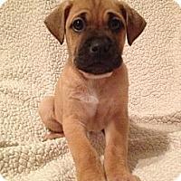Adopt A Pet :: Ruby's Pup 1 - Long Beach, CA