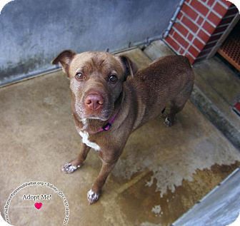 Shar Pei Mix Dog for adoption in Sidney, Ohio - Crystal
