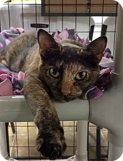 Calico Cat for adoption in Bonner Springs, Kansas - Dory