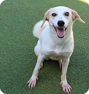 Jack Russell Terrier/Saluki Mix Dog for adoption in Cape Coral, Florida - Bella