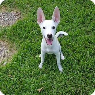 Basenji/Shepherd (Unknown Type) Mix Dog for adoption in Tomball, Texas - Lady