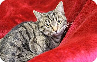 Domestic Shorthair Cat for adoption in Greensboro, North Carolina - Appolonia