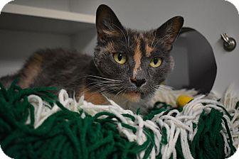 Polydactyl/Hemingway Cat for adoption in Hendersonville, North Carolina - Tickles