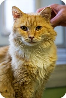 Domestic Mediumhair Cat for adoption in Indianapolis, Indiana - Mr. Darcy