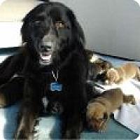 Adopt A Pet :: Stella - Denver, CO