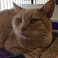 Domestic Shorthair Cat for adoption in Bear, Delaware - Bambina