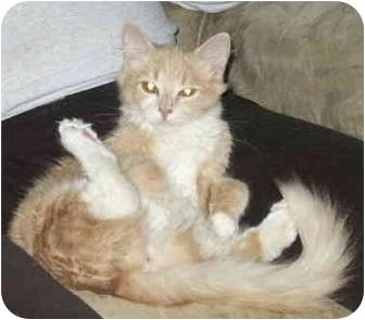 Domestic Mediumhair Cat for adoption in Crescent City, California - Peaches