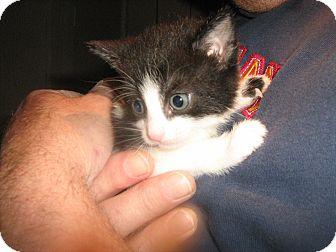 Domestic Mediumhair Kitten for adoption in Westfield, Massachusetts - Daisy