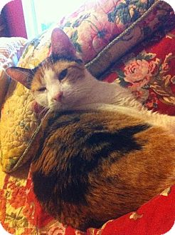 Calico Cat for adoption in Arlington/Ft Worth, Texas - Tara