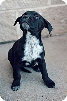 American Staffordshire Terrier Mix Puppy for adoption in Justin, Texas - Zoey